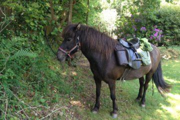 ida cheval islandais
