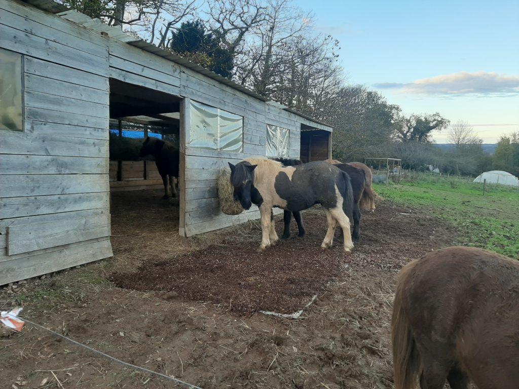 chevaux mangent dans la nouvelle bergerie