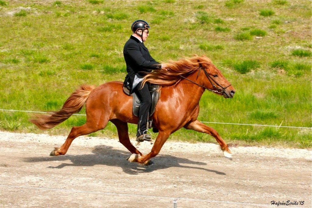 cheval islandais amble litli hestur