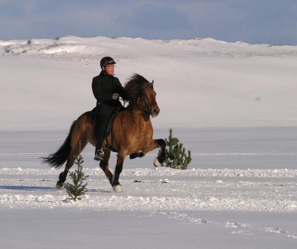 cheval islandais tölt litli hestur