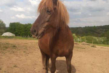 Elwood cheval islandais